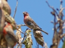 house-finch-02