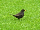 Amsel, Winchester, England, Juli 2012