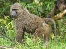 Anubis-Pavian, Queen Elizabeth Nationalpark, Uganda, Oktober 2016