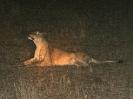 Löwe, KNP, Südafrika, Oktober 2011