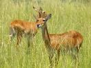 Uganda-Grasantilope, Murchison Falls Nationalpark, Uganda, Oktober 2016