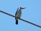 Senegal-Kingfisher, Lake Victoria View Guest House, Entebbe, Uganda, Oktober 2016