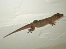 Asiatischer Hausgecko, Peucang Island, Ujung Kulon Nationalpark, West-Java, Indonesien, Juli 2018
