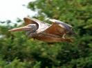 Graupelikan, Prek Toal Bird Sanctuary, Tonle Sap, Kambodscha, März 2008