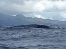 Finnwal, vor Pico, Azoren, April 2012