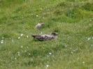 Große Raubmöwe / Skua, Hermaness RSPB, Unst, Shetland Islands, Juli 2015 - Das Braune, Wollige ist ein Skua-Küken.