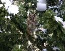 Waldohreule, bei mir im Hof, Dezember 2005