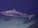 carcharhinus-melanopterus-01_20120226_1043802097