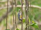 hoffmanns-woodpecker-02