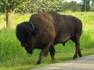 Prärie-Bison, Elk Island Nationalpark, Alberta, August 2019