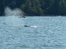 Grauwal, vor Tofino, Vancouver Island, Juli 2019