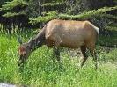 Wapiti, Banff-Nationalpark, Alberta, Juli 2019
