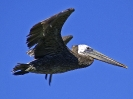 brown-pelican-104_20120105_1779227462