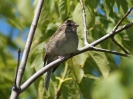 chipping-sparrow-01