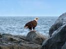 Weißkopfseeadler, Juan de Fuca Strait, Vancouver Island, British Columbia, Juli 2019