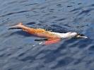 Amazonas-Flussdelphin, Novo Airao, Rio Negro, Amazonas, Brasilien, Juli 2008