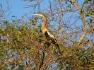 Anhinga, Pantanal, Mato Grosso, Brasilien, Juli 2008