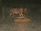 Familienglück, 28. Oktober 2011 (Nachtsafari) - Krüger National Park, Südafrika