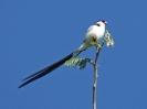 Pin-tailed Whydah, 4. November 2011 - White River Lodge,  White River, Mpumalanga, Südafrika