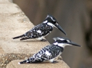10-25_n_-_pied-kingfisher_20111124_1151929093