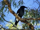 Pied Currawong, Daintree National Park, Queensland, August 2001