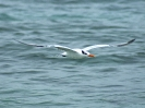 Royal Tern - Boca del Drago - Isla Colon - Panama - Maerz 2013 - 02