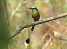 turquoise-browed-motmot-02