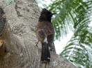 red-vented-bulbul-02